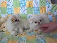 Japanese chin puppies.flv